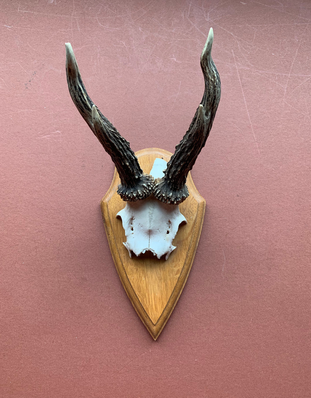 Roe Horns on Wood Plaque with Jawbone
