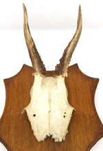 Small Roe Deer Antler/Horn on Plaque