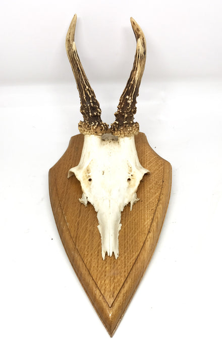 European Roe Horns with Jaw Bone