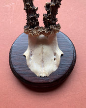 Long Roe Horns on Round Wood Plaque
