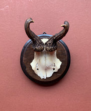 Roe Horns on Round Wood Plaque, Curled Horns