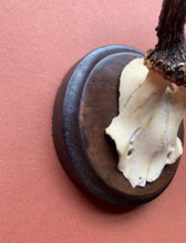 Side profile of Roe Horns on Round Wood Plaque