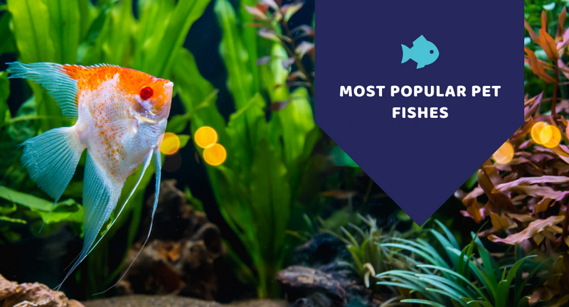 Most popular types of pet fishes