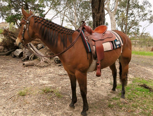 Michelle's horse Bom trying out his Matthews Western saddle