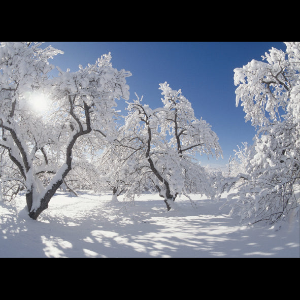 "Apple Orchard in the Snow<p style=""color_gold"">LUXURY RANGE"