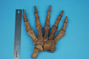 Fossil Cave Bear Hand (1230-HAND-G01)