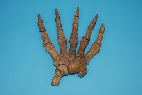 Fossil Cave Bear Hand (G01)
