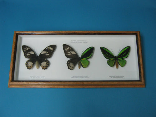 Framed Priam's Birdwing Butterflies (1236-G09)