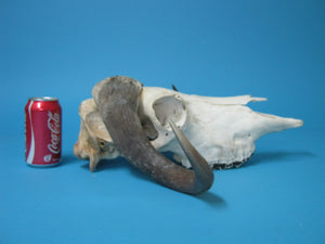 Musk Ox Skull and Cap (15-240-1-G04)