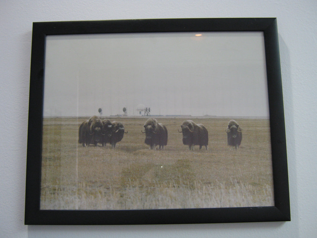 Muskox Picture (G15110903)