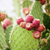 PRICKLEY PEAR