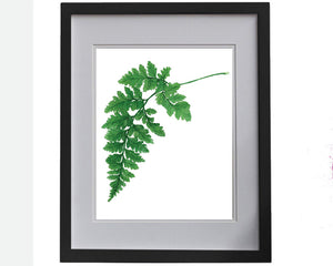 Print of Philodendron Xanadu botanical
