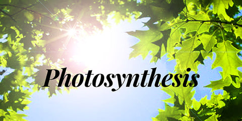 How does photosynthesis work?