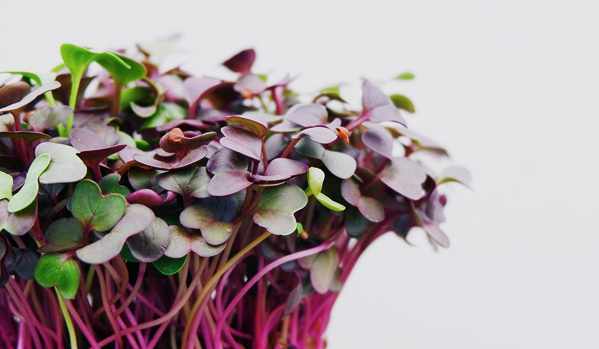 Microgreens: 40x Vitamins in 1 Week