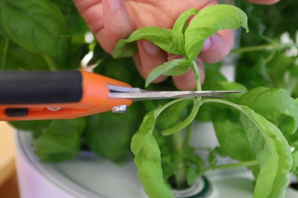 Plantui Pinch to grow Basil