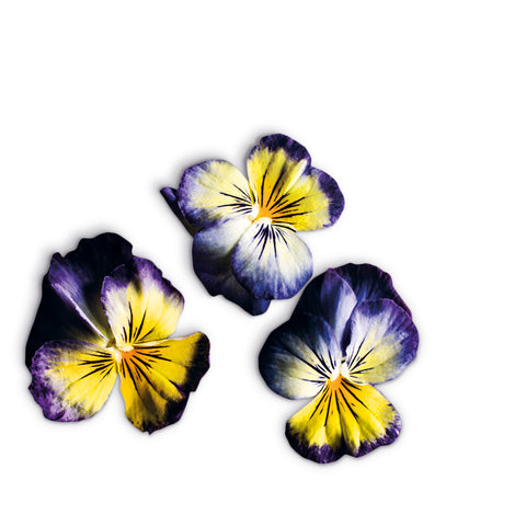 Viola Lemon Blue Flower Garden