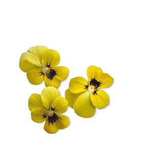 Viola Yellow Flower Garden