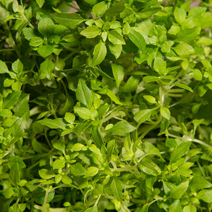 Basil Minette Herb Smart Garden Close