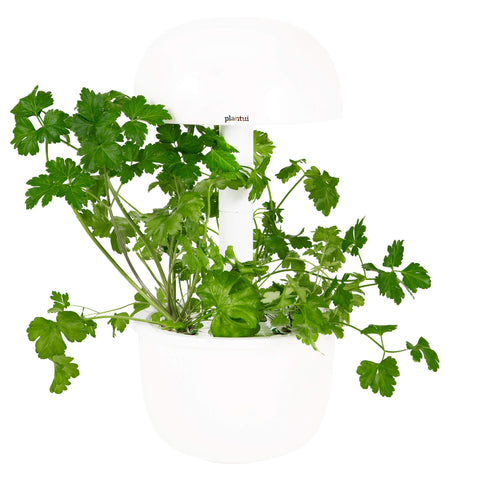 Flatleaf Parsley Plantui 3e Smart Garden