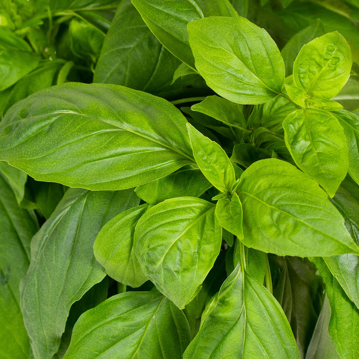 Plantui Basil Thai Salad Smart Garden