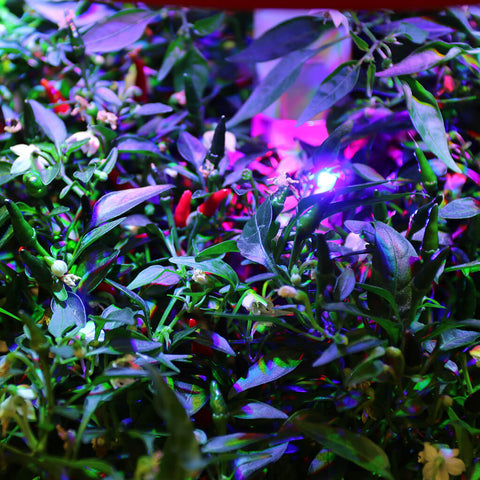 Plantui Blooming Light Chili Smart Garden