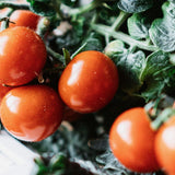 Plantui Cherry Tomatoes Red Smart Garden Close