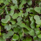Plantui MICROGREEN Red Cabbage Main