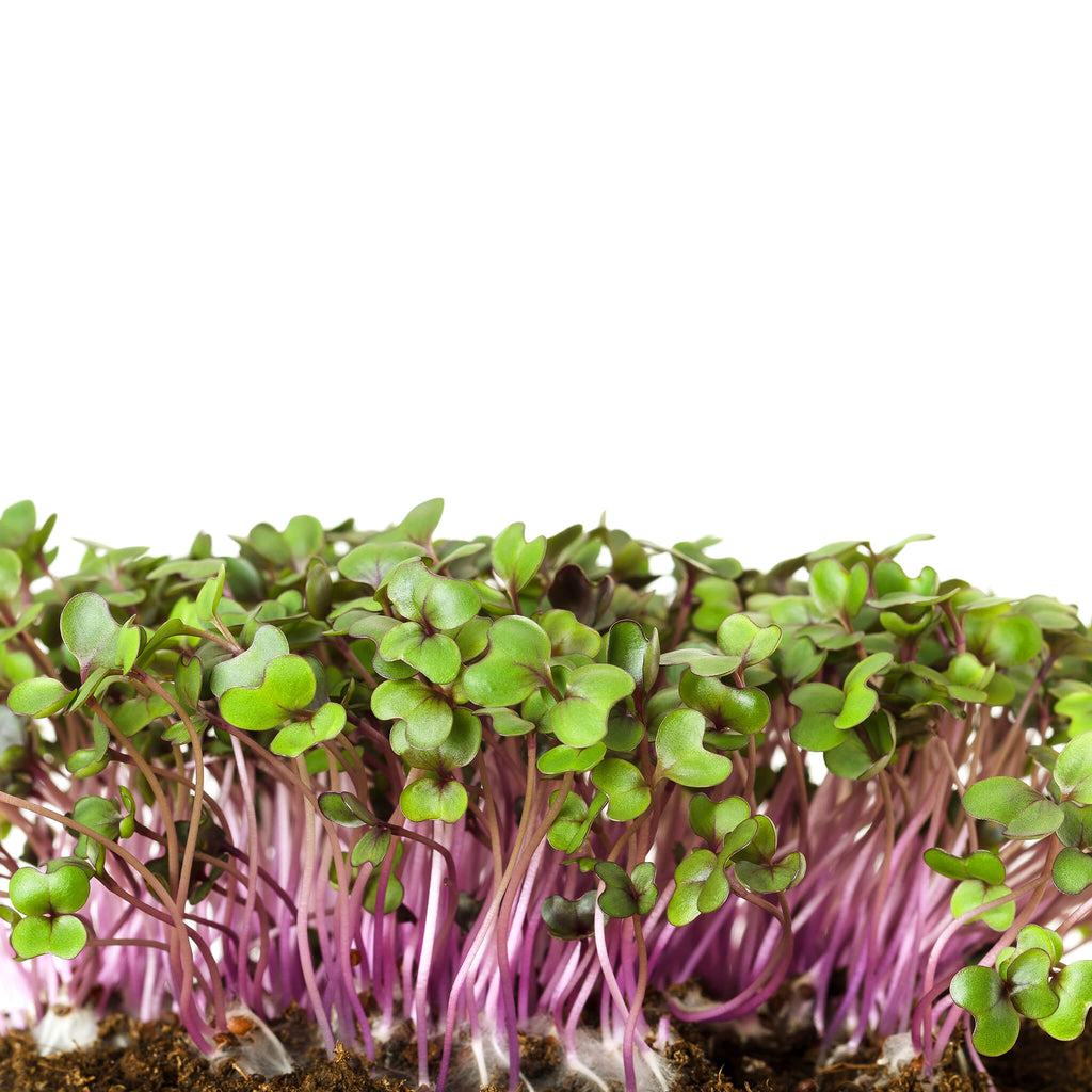 Plantui MICROGREEN Red Cabbage White