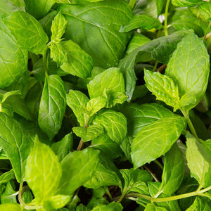 Plantui Mint Herb Smart Garden