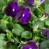 Plantui Viola Purple Flower Smart Garden