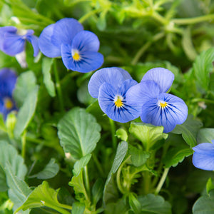 Plantui Viola True Blue Flower Smart Garden