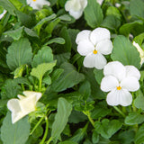 Plantui Viola White Flower Smart Garden