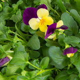 Plantui Viola Yellow Jump Flower Smart Garden
