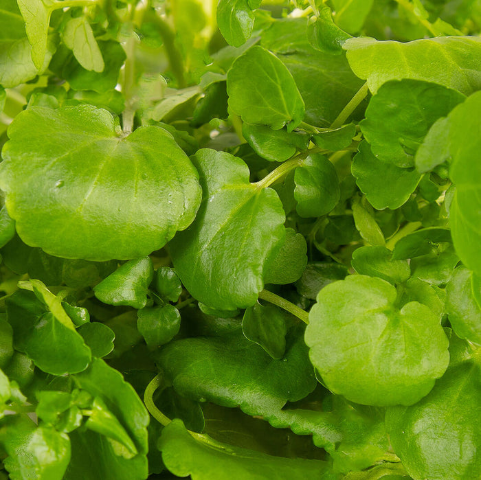 Plantui Watercress Salad Smart Garden