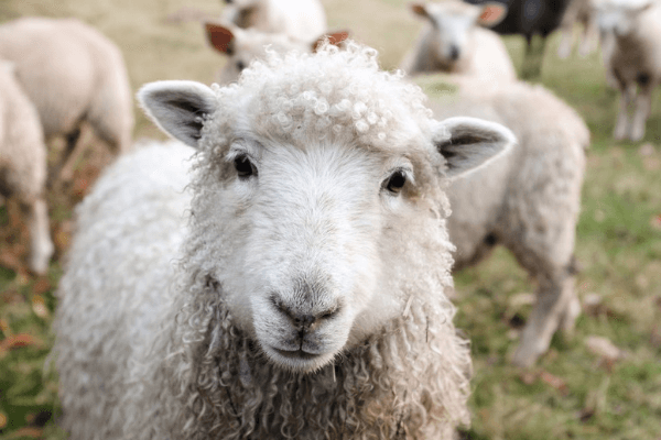 Victory! New Zealand Bans Mulesing Mutilations of Sheep