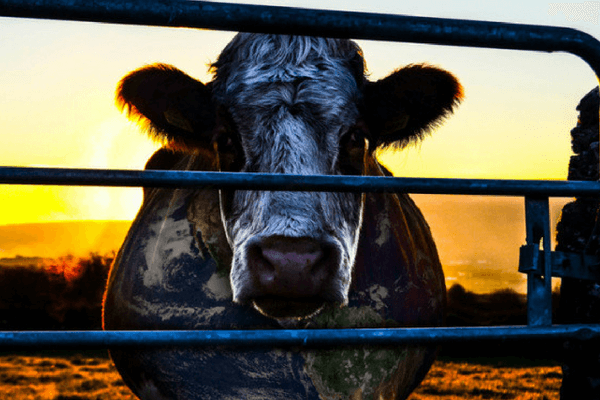 What Could Be Dirtier Than Fossil Fuels? Meat and Dairy!