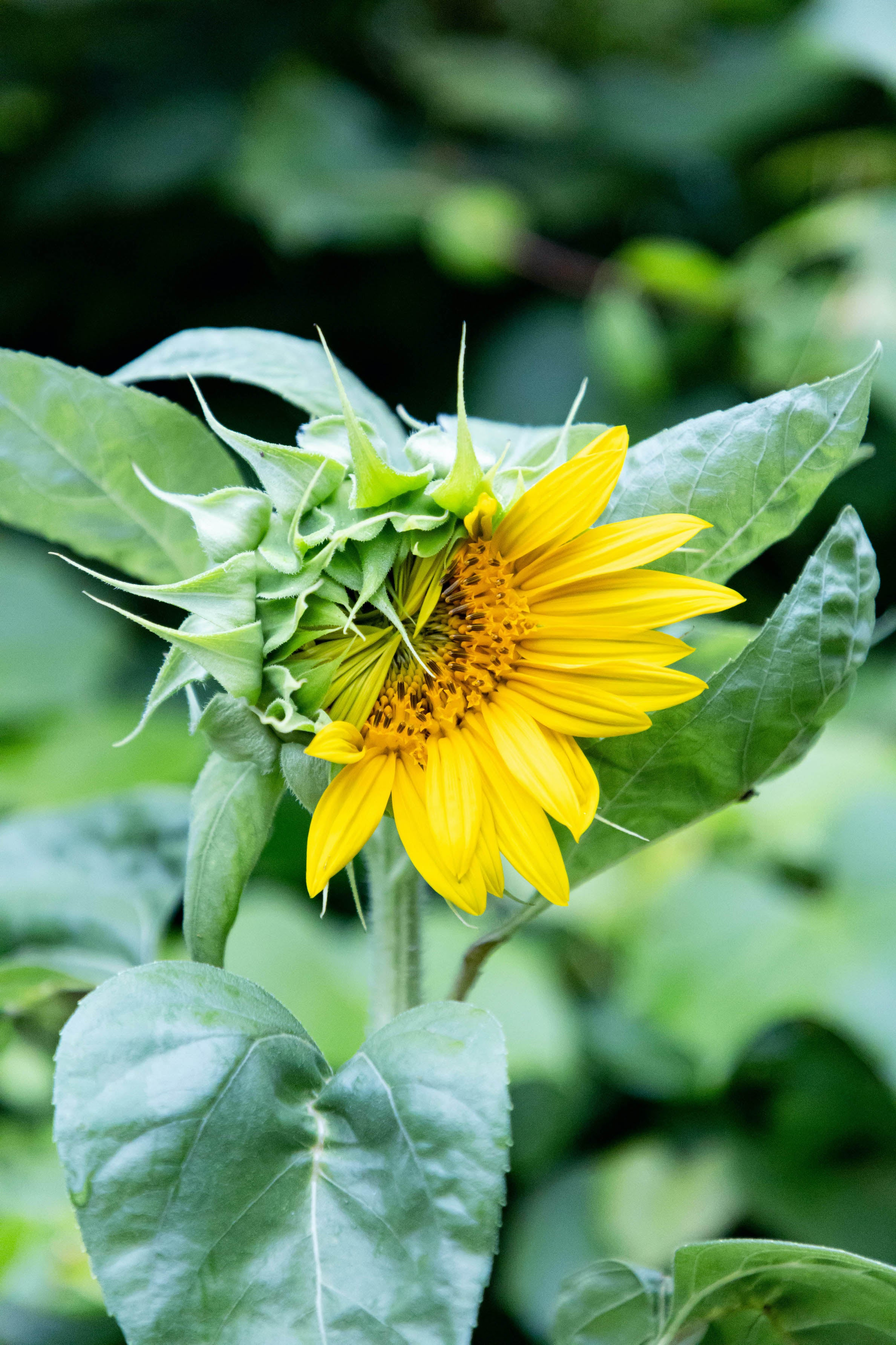 A green and yellow flower is in the process of unfurling
