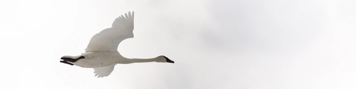 A goose flies with wings outstretched across a white sky with hints of grey clouds