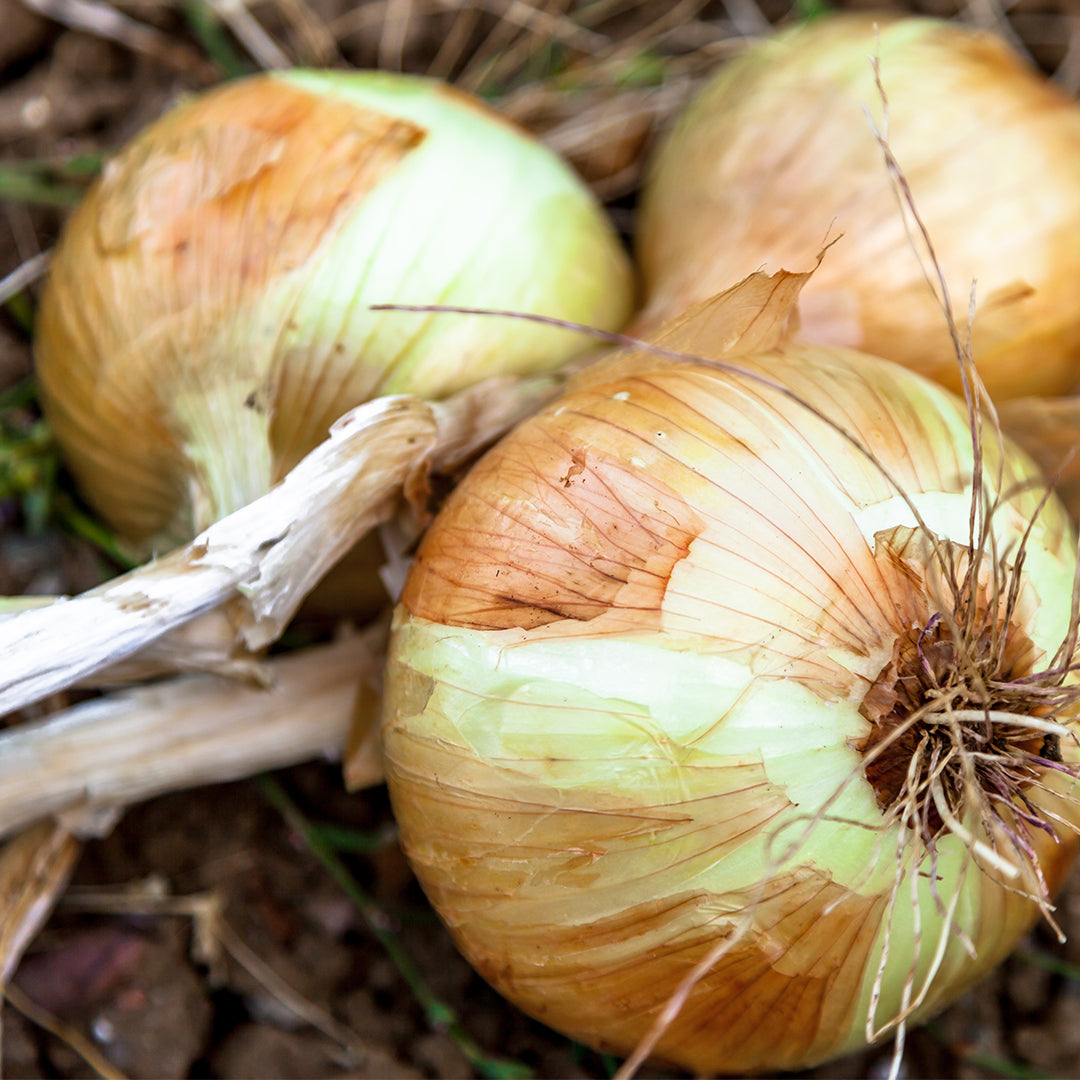 August Gardening Jobs - Harvest Onions & Garlic