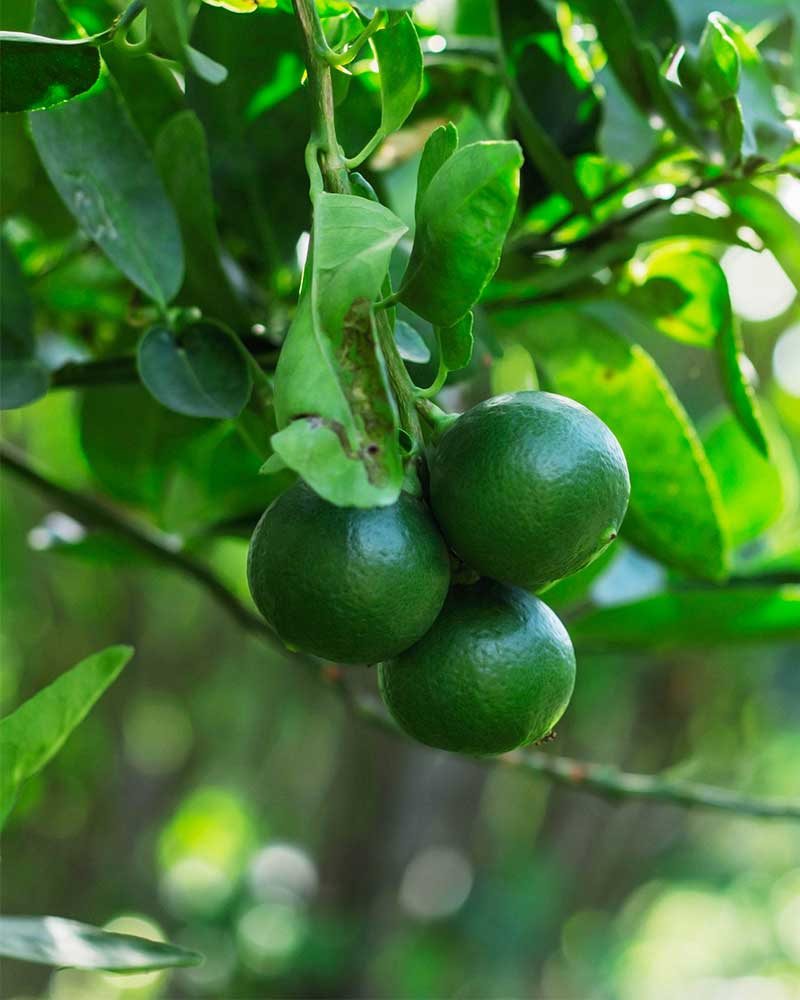 How to Grow a Lime Tree
