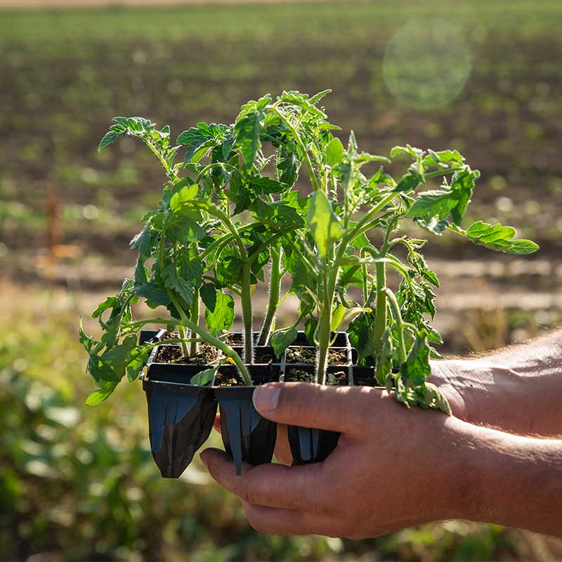 How to Tie Up Tomato Plants