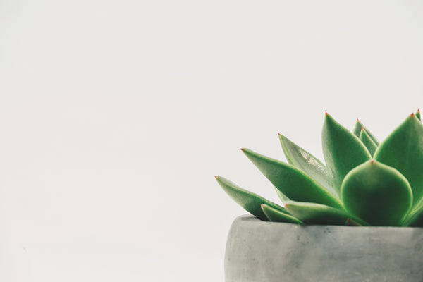 Agave Plant in Concrete Pot