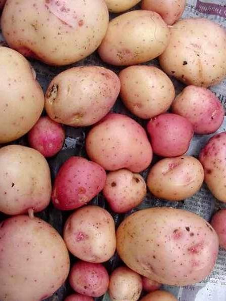 Potatoes - Kerrs Pinks