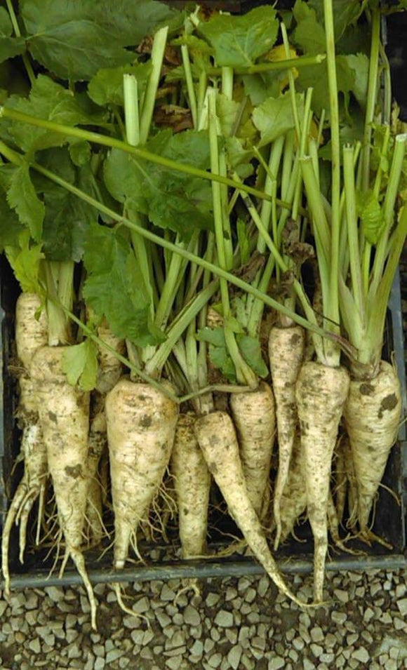 Parsnips (Bunch)