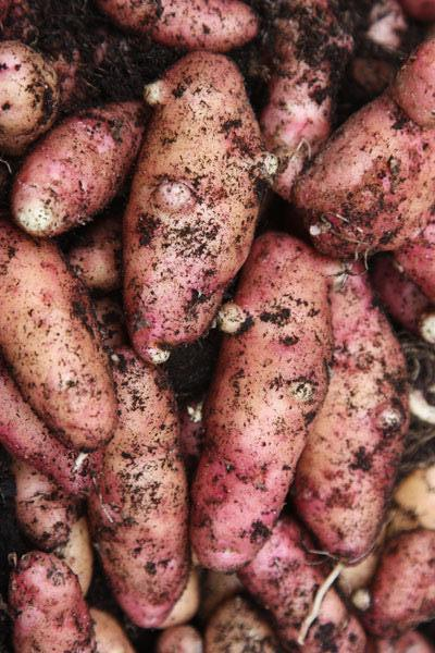 Potatoes - Pink Fir Apple (2kg)