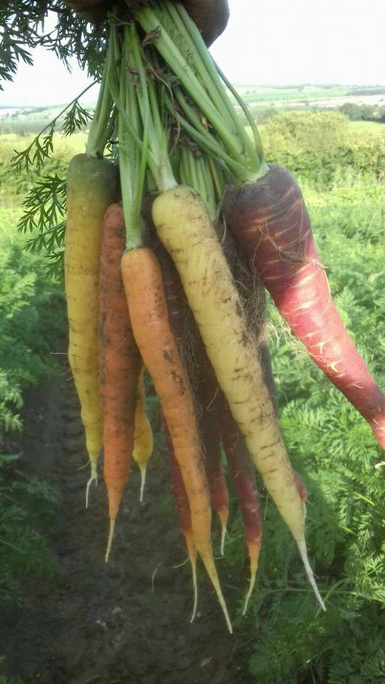 Carrots - Rainbow (Bunch)