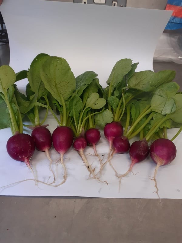 Radish - small bunch