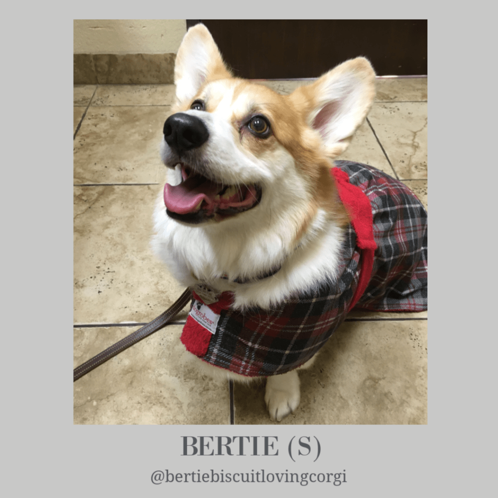 Bertie The Butter Biscuit Loving Corgi - Dogrobes UK