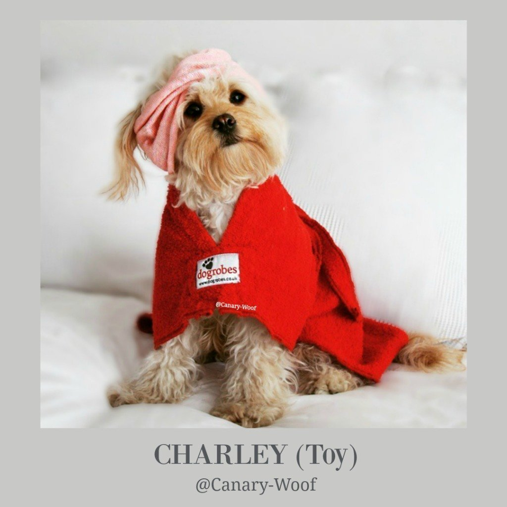 Charley the Cavapoo from Canary Woof - Dogrobes UK