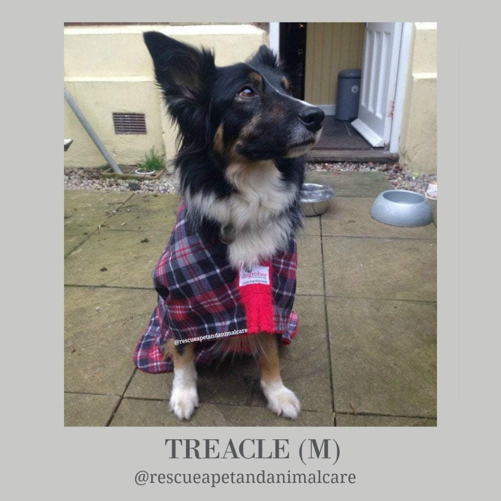 Treacle Border Collie from Rescue A Pet and Animal Care - Dogrobes UK